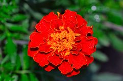 Tagetes patula, also known as French marigold, Pune. Tagetes patula flower also known as French marigold, Pune Royalty Free Stock Photos