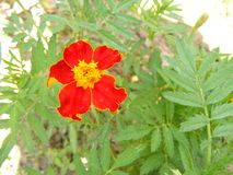 Tagetes patula, beautiful tagetes. Floral background. Garden care. Summer blossom background. Tagetes patula, beautiful tagetes. Floral background. Garden care stock images