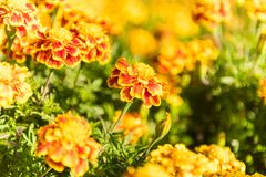 Tagetes Patula, Bee. Tagetes patula, the French marigold, is a species in the daisy family Asteraceae. It is native to Mexico and Guatemala with several Stock Photos