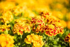 Tagetes Patula, Bee. Tagetes patula, the French marigold, is a species in the daisy family Asteraceae. It is native to Mexico and Guatemala with several Stock Photography