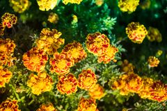 Tagetes Patula, Bee. Tagetes patula, the French marigold, is a species in the daisy family Asteraceae. It is native to Mexico and Guatemala with several Stock Images