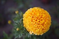 Tagetes patula closeup. Beautiful yellow Tagetes patula flowers close up royalty free stock photo