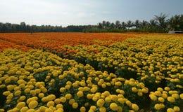 Tagetes patula flower field in Mekong Delta, Vietnam Royalty Free Stock Photos