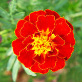 Tagetes patula flower on green grass background. Royalty Free Stock Photo