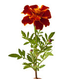 Tagetes patula Stock Photography
