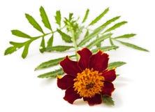 Tagetes patula flower Stock Photography
