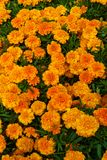 Tagetes patula flowers. Bright orange tagetes patula flowers stock photos