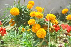Tagetes patula flowers stock images