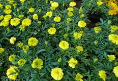 Tagetes patula french marigold in bloom, orange yellow bunch of flowers, green leaves, small shrub.  stock photo