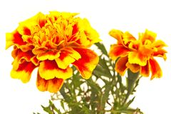Tagetes patula - French marigold flower close up on white backgr Royalty Free Stock Images