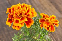 Tagetes patula - French marigold flower close up  on wooden back Stock Image