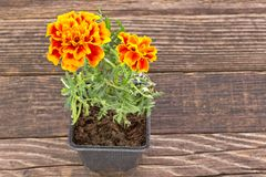 Tagetes patula - French marigold flower on wooden background Stock Images