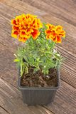 Tagetes patula - French marigold flower on wooden background Royalty Free Stock Photo