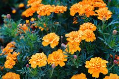 Tagetes patula, the French marigold. Is a species in the daisy family Asteraceae royalty free stock photo