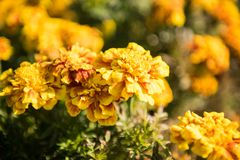 Tagetes Patula, Bee. Tagetes patula, the French marigold, is a species in the daisy family Asteraceae. It is native to Mexico and Guatemala with several Royalty Free Stock Images