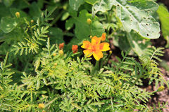 Tagetes patula, french marigold Royalty Free Stock Photography