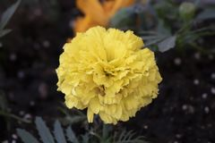 Tagetes patula or Mister macestic flowers royalty free stock photo