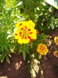 Tagetes patula & x27;Mister Majestic& x27; herb royalty free stock image