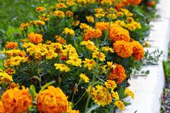 Tagetes patula, orange flowers in flowerbed along way. Selective focus royalty free stock photography