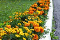 Tagetes patula, orange flowers in flowerbed along way. On sunny summer day stock photography