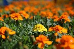 Tagetes Patula Orange&Yellow Royalty Free Stock Photos