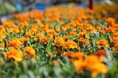 Tagetes Patula pomarańcze Zdjęcie Royalty Free