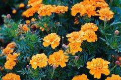 Free Tagetes Patula, The French Marigold Royalty Free Stock Photo - 100765665