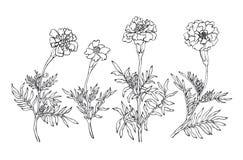 Free Tagetes Patula, The French Marigold. Royalty Free Stock Image - 79778316