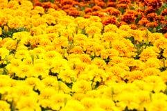 Tagetes patula. Yellow and orange Tagetes patula Stock Image