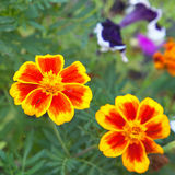 Tagetes patula Royalty Free Stock Images