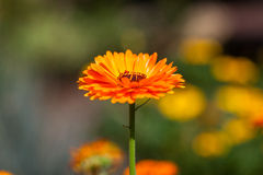 Tagetes-Ringelblumen-Blume. Calendula officinalis. Stockfotos