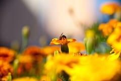 Tagetes-Ringelblumen-Blume und Biene. Stockfotografie