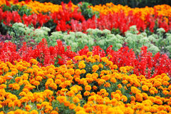 Tagetes and salvia in flowerbed. With fresh balmy blossom royalty free stock image