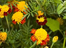 Tagetes in summer garden. Yellow flowers Marigolds Royalty Free Stock Photography