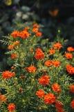 Tagetes tenuifolia Stock Photo