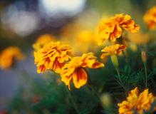 Tagetes. Stock Images