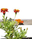 Tagetes in wooden tub isolated Stock Image