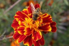 Tagetes y una abeja Foto de archivo libre de regalías