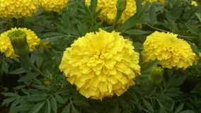 Tagetes. Yellow flowers. Royalty Free Stock Images