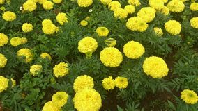 Tagetes. Yellow flowers. Royalty Free Stock Photography