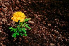 Tagetespatula de Franse goudsbloem in de tuin, op de achtergrond van de grond Stock Foto