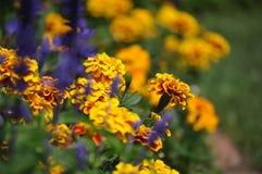 Tagetespatula, Franse goudsbloemen en lavendel Stock Foto's