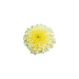 Tageti Alaska, uno di tipo tagete che hanno il colore e luce gialla bianchi Fotografia Stock Libera da Diritti