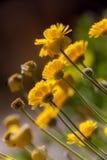 Tageti gialli del deserto Fotografia Stock