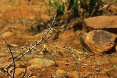 Tagg av den Vachellia niloticaen eller gummi - arabiskt träd, Indien Royaltyfri Fotografi