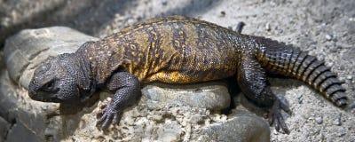Tagg-tailed agama 6 Fotografering för Bildbyråer