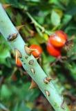 Taggar av den Rosa caninaen fotografering för bildbyråer
