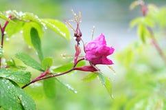 Taggar och rosor Arkivbilder