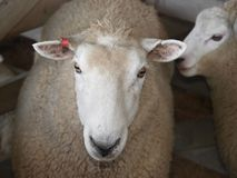 Tagged. Head shot of a Ewe with Red Tag stock photo
