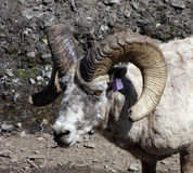A tagged bighorn sheep in the rocky mountains Royalty Free Stock Photos